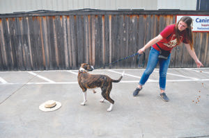 The leash here looks a little tight. Don't pull the dog away from the novel item. After a couple iterations, when he hears the cue, he should be anticipating the treats and start turning and running away from the item with you.