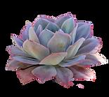 succulent21.png