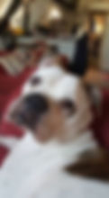 Fergie Lundean - Our Bulldog