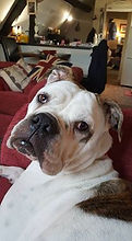 Fergie Lundean - Our Bulldog