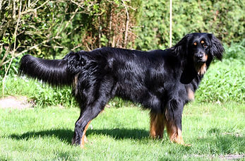 Hunde Welpe Zucht Züchter HZD VDH Hovawart Hamburg Schleswig-Holstein Hovawart schwarz Hovawart blond Hovawart schwarzmarken