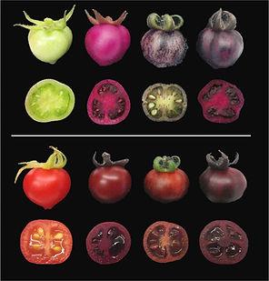 עגבנייה.jpg