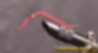 San Juan worm