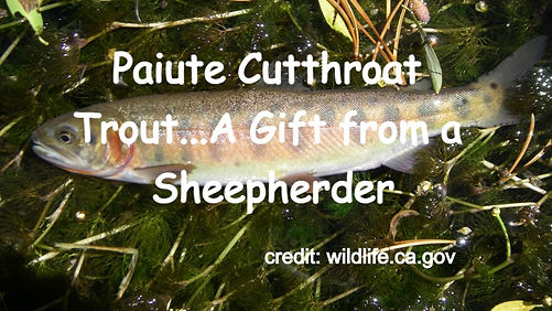 Paiute Cutthroat Trout...A Gift from a Sheepherder