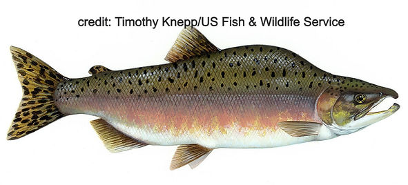 Kamloops Rainbow Trout