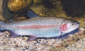 coastal rainbow trout.jpg