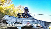 striped bass on a fly