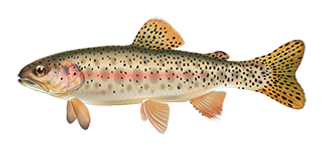 athabasca-rainbow-trout.png