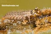 Free-living-caddisfly-larva