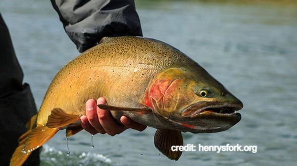 Kamloops Rainbow Trout