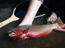 Colorado River Cutthroat