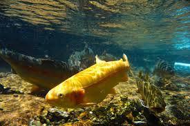 golden rainbow trout.jpg
