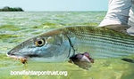 Bonefish on a fly