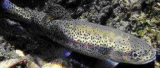 Great Basin Redband Trout