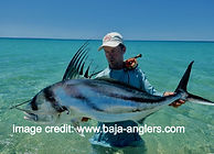 roosterfish on a fly
