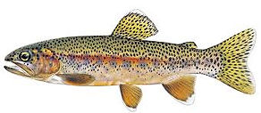 Kern River Rainbow Trout.jpg