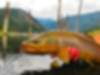 Quake Lake Brown Trout