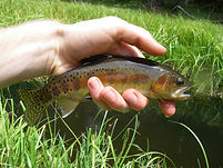 little kern golden trout.jpg