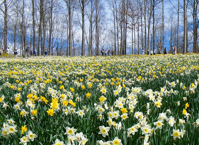 forest with daffies.jpg