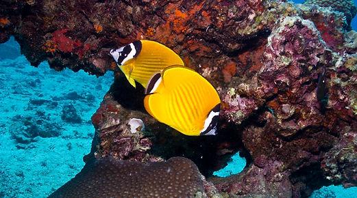 Falterfische beim Schnuppertauchen
