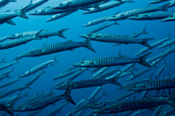 Chevron Barracudas