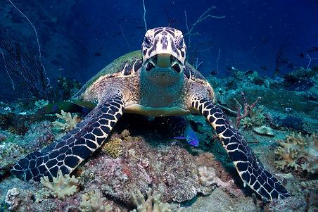 Schildkröte beim Schnuppertauchen