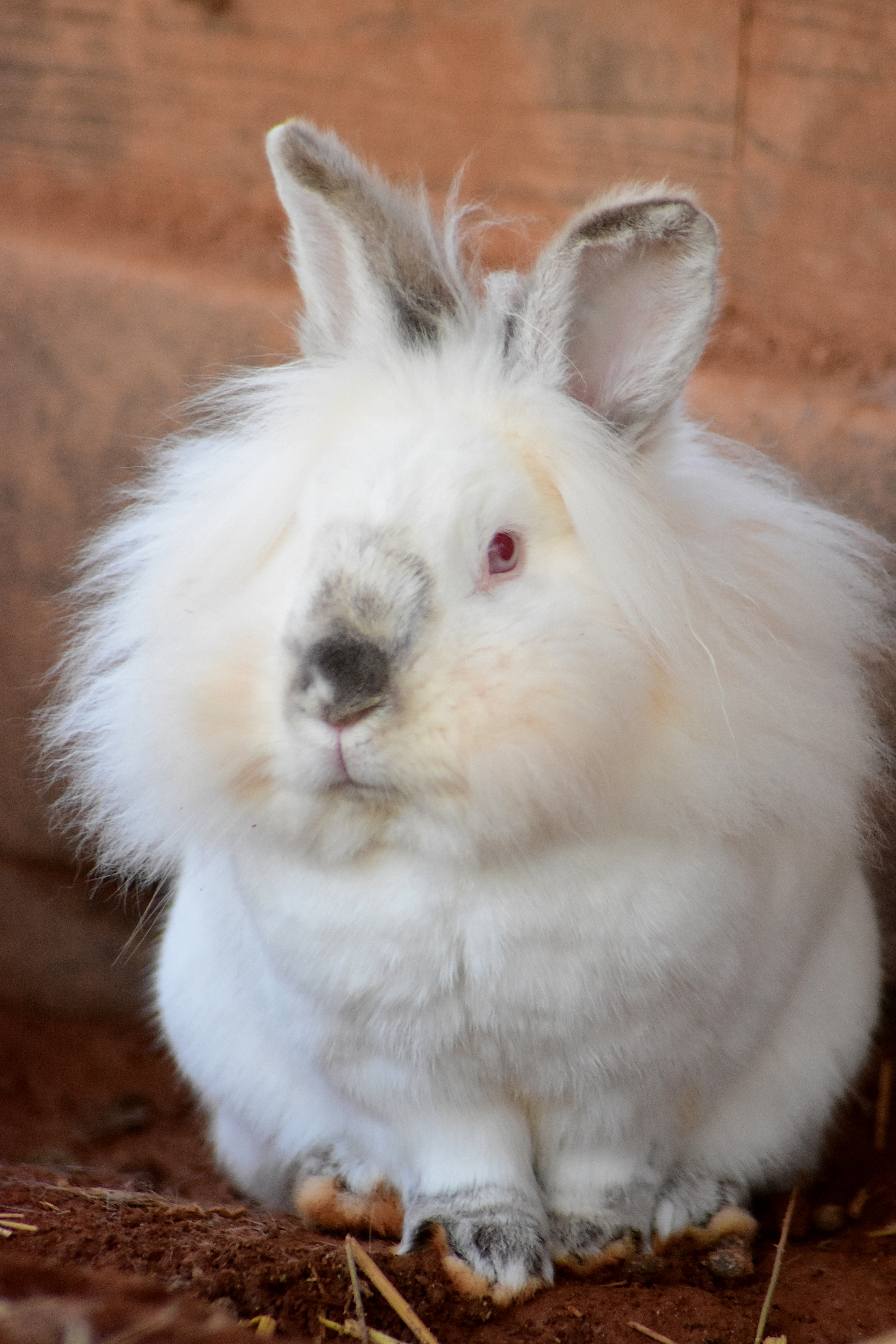 Babbit - male