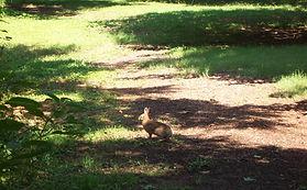 Rabbit Sanctuary Inc. Eastern Cotton Tail Rabbit