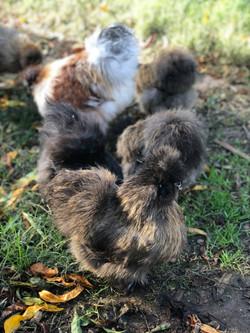 Partridge Hen