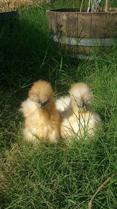 Splash Partridge pullets