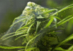 spider-mite-cannabis-webbing.jpg