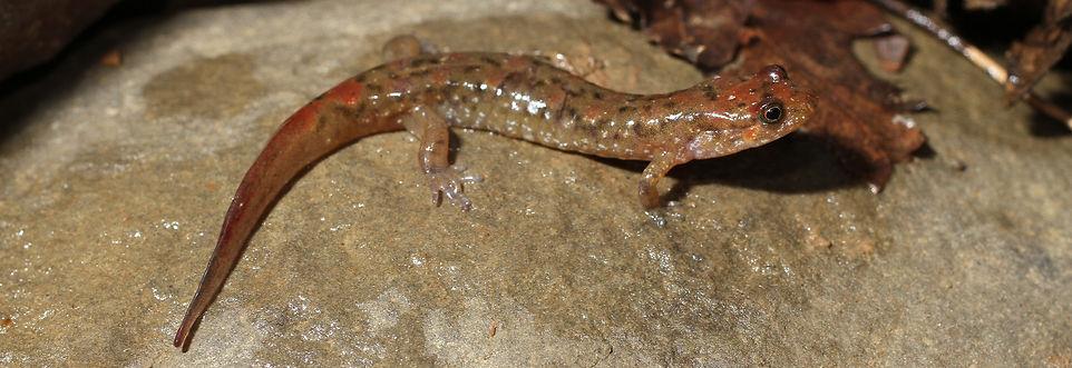 Desmognathus monticola - 2013-03 - Spavi