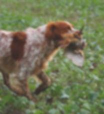 Brittanygundog.jpg