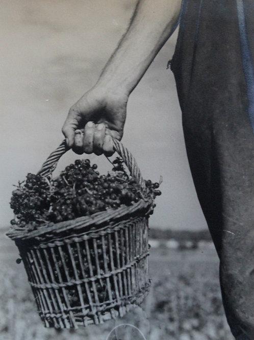 Henri Gros (Photographe). Petit panier de raisins. Vendanges en Bourgogne