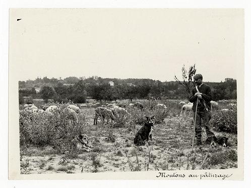 Photographie ancienne vers 1910 le berger avec ses moutons et ses chiens 1
