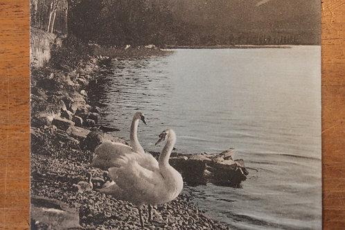 Au bord du Lac Léman Cygnes Dents du Midi Suisse CPA comme neuve non voyagée