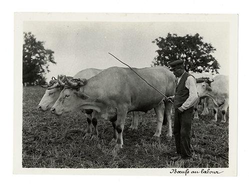 Photographie ancienne vers 1910 Monde rural Bœufs au labour agriculture ferme