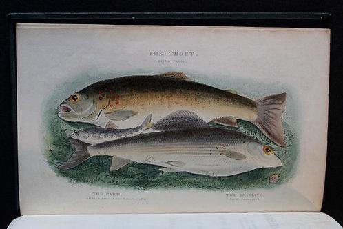 Pêche à la mouche : The Fly-Fisher's Entomology by Ronalds (1883)