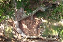 tree root.jpg