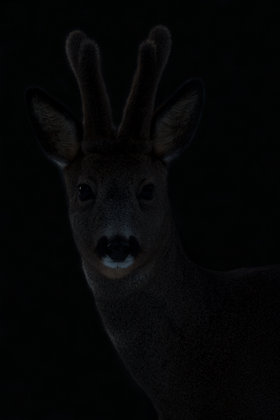 Roe Deer Stag
