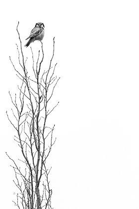 On Top (Northern Hawk-owl)