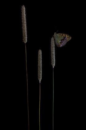 Pallas' Fritillary Black