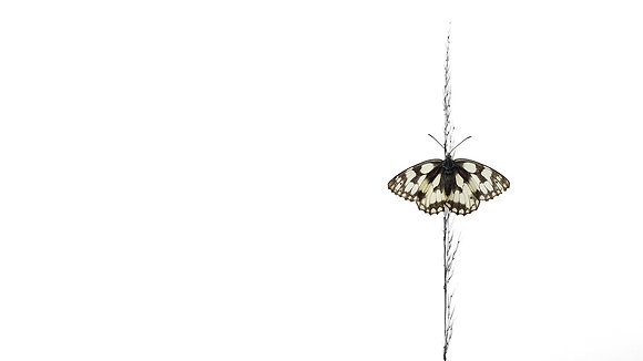 Chess Board (Marbled White)