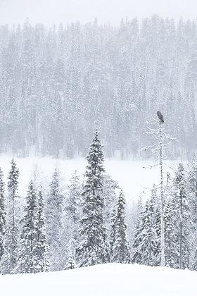 Great Grey Owl in Landscape