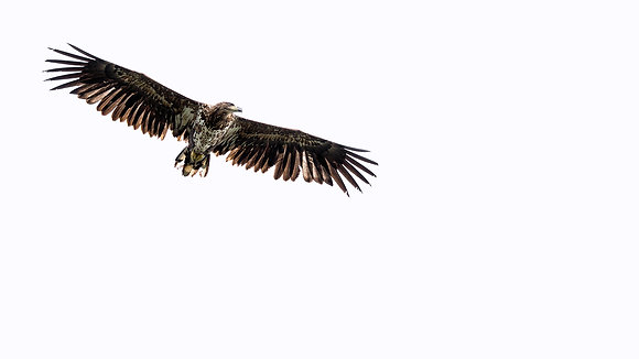 King of the Sky (White-tailed Eagle)