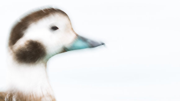 An Abstract Portrait (Long-tailed Duck)
