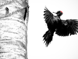 Series - Black Woodpecker