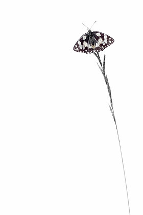 Marbled (Marbled White)