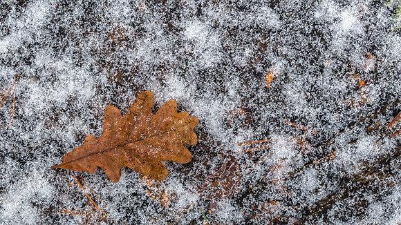 Oak Leaf (Oak)