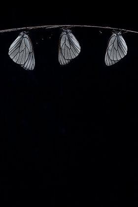 Three Black-veined Whites Hanging